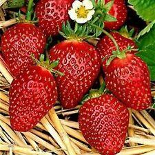 Erdbeerpflanzen 'Korona' 25 Pflanzen Frigo