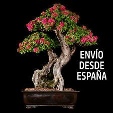 200 semillas Bougainvillea Spectabilis Willd Bonsai color rojo