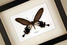 Atrophaneura ( Losaria ) coon   echter Schmetterling  Schaukasten/Rahmen
