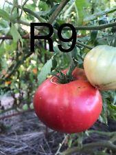 20 Graine Tomate grosse