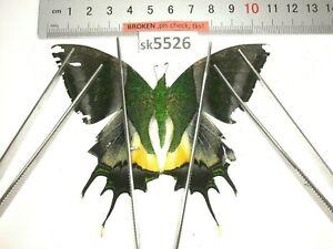 SK5526 # Unmounted Butterfly Teinopalpus imperialis North Vietnam