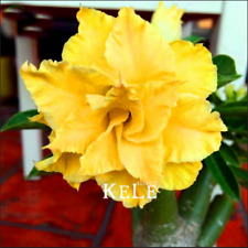 1 PCS Seeds Yellow Desert Rose Bonsai Ornamental Flowers Plants Garden Adenium R