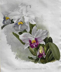 H.G. Moon's Antique Floral - LAELIA PRESTANS OAKWOOD  - Chromolithograph - 1903