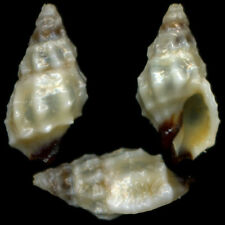 """PASCULA DARROSENSIS """"8.8mm"""" (Philippines) #35744"""