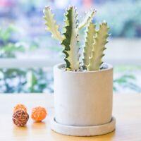 Succulent Cactus Live Plant - White Euphorbia Royleana 9cm - Home Garden Plants