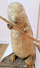 Ultra Rare 1988 Vintage Large Adult Albinos Canadian Beaver Taxidermy 27x21x13''
