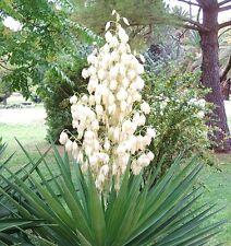 RARE YUCCA ALOIFOLIA @j@ Spanish Bayonet agave garden Dagger Plant seed 15 SEEDS