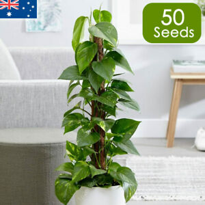 Buy Devils Ivy Plant Vine x50 Seeds Indoor House Plants Outdoor Screening Rare