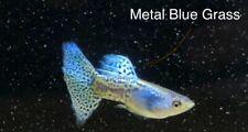 Metal Blue Grass Pair GUPPY , TROPICAL FISH HEALTHY GUARANTEE ,FreeShipping