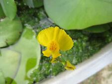 Utricularia australis aquatic bladderwort - hardy carnivorous plant