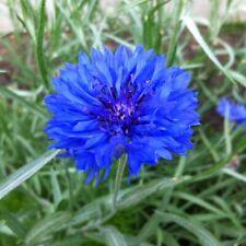 CORNFLOWER BLUE DWARF Centaurea Cyanus 3,000 Bulk Seeds