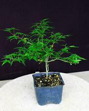"Kiyohime maple  bonsai tree 4"" pot"