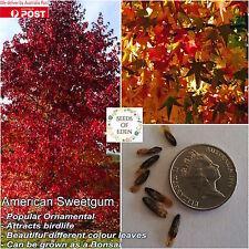 10 AMERICAN SWEETGUM TREE SEEDS(Liquidambar styraciflua); Bonsai features