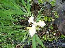 CREAM WATER IRIS,POND PLANT,BIOFILTERS,100% ORGANIC,LICENSED PA GROWER