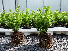20 Premium Buchsbaum Buxus Sempervirens 20 - 25 cm Bux Buchs Heckenpflanzen