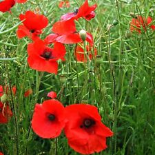 POPPY Red Flanders Seeds (F 373)