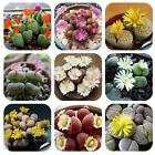 100 Rare Mixed Lithops Seeds Living Stones Succulent Cactus Organic Bulk Plant #