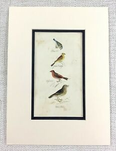 1841 Antique Bird Print Blue Tit Yellow Bunting Birds Hand Coloured ENGRAVING