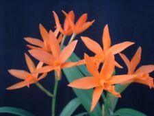 (231a4) Lc. Trick or Treat 'Orange Beauty'Hcc/Aos
