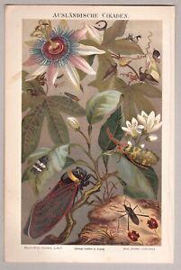 Insekten, Zikade, Cikaden - Chromolithographie 1896