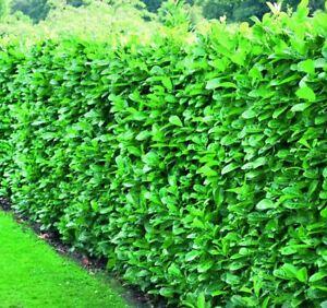 10X 3FT LARGE LAUREL HEDGING TREES PRUNUS ROTUNDIFOLIA EVERGREEN POTTED 3L