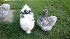 6 QUALITY PURE BREED SILKIE  BANTAM HATCHING EGGS MIXED COLOURS