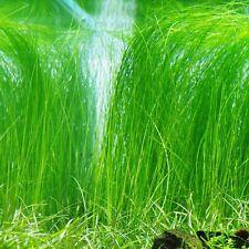 Hairgrass Eleocharis acicula Oxygenating Pond Live Water Plant  Aquatic Bog