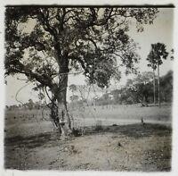 Africa Albero Foto NF8 Placca Da Lente Stereo Vintage Ca 1910