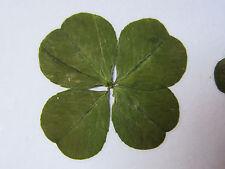Un véritable trèfle à 4 feuilles, porte bonheur merveilleux