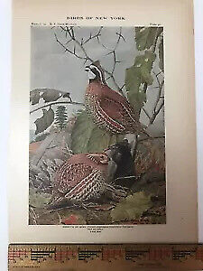 Vtg Original Print Plate #40: BOBWHITE QUAIL Birds of New York 1916 Fuertes art