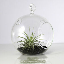 Air plant Kit in hanging glass Terrarium with Black coloured crushed glass.