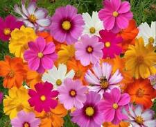 Crazy For Cosmos Mix 150 Seeds Bright Mix of Beautiful Colored Flowers