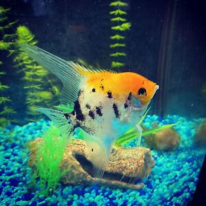 (3) Juvenile Koi Angelfish