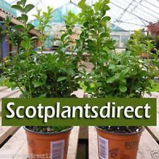Plant Neutral Shrubs & Hedges Boxwood