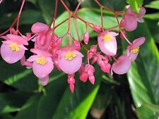 """Angel Wing Begonia - Cane Stem """"rooted"""" cutting with new baby leaves"""