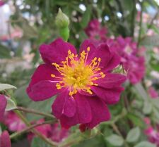 VIOLETTE- 5.5lt Potted Rambling Garden Rose -Purple with Yellow Centres SALE!