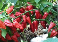 Hot Chili Pepper - BIG RED MAMA - 10 Vegetable Seeds - High Quality- From 2017