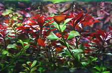 Red LUDWIGIA RE OPENS RUBIN  LIVE AQUARIUM TROPICAL FISH TANK PLANTS bunched