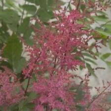 """astilbe APHRODITE red false short spirea fragrant 2.5"""" pot = 1 Live Potted Plant"""