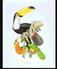 Toco-Toucan & Spot-billed Toucanet - Color Bird Print