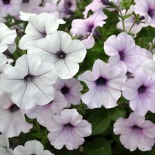 ~ Tidal Wave SILVER * Trailing Petunia * 20 Pelleted Seeds
