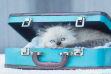 Baby Himalayan Cat Standing In Vintage Suitcase Photo Art Print Poster 18x12 inc