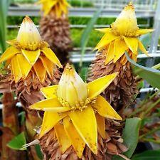 Musella Lasiocarpa  Winterharte LOTUS Bananenstaude