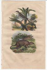 Guerin 1839 Vtg Hand Colored Engraving Meerkat Conebill Bird Plate 672