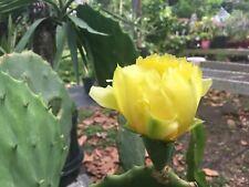 Opuntia ellisiana, 'Spineless Prickly Pear Cactus'