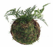 """Miniature Rabbit's Foot Fern Growing on Natural Wood Round -Exotic Houseplant-4"""""""