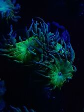 New listing Green and Blue Duncan Coral