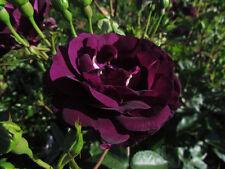 MIDNIGHT BLUE - 4lt Potted Floribunda Garden Rose - Deepest Purple, Few Thorns