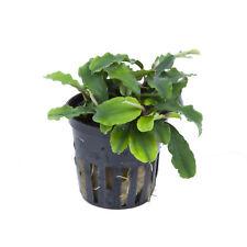 Bucephalandra wavy green Topf barschfest Aufsitzer gewässert - garnelentauglich