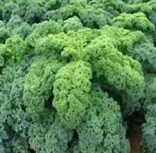 Légumes Chou à feuilles Kadet Kale Env. 450 Graines